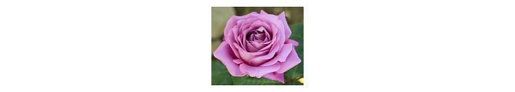 Blauwe/ paarse rozen
