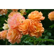 Rosa Westerland®