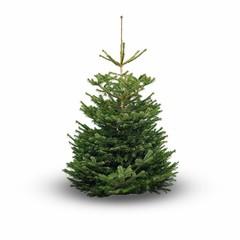 Nordmann kerstboom 200 cm