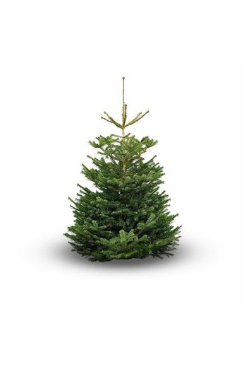 Nordmann Christmas tree 300cm
