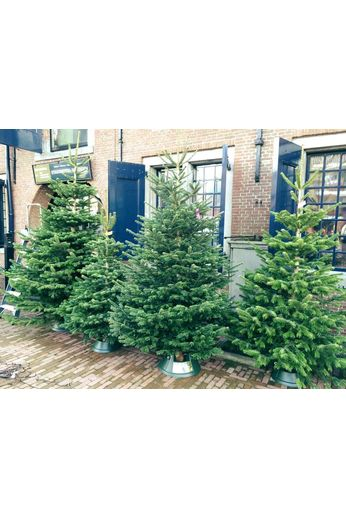 Nordmann Christmas tree 200cm