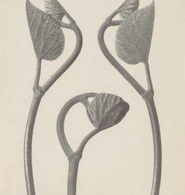 Foam Editions Karl Blossfeldt - Birthwort (Aristolochia)