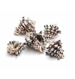 Schelp Vasum cornigerum