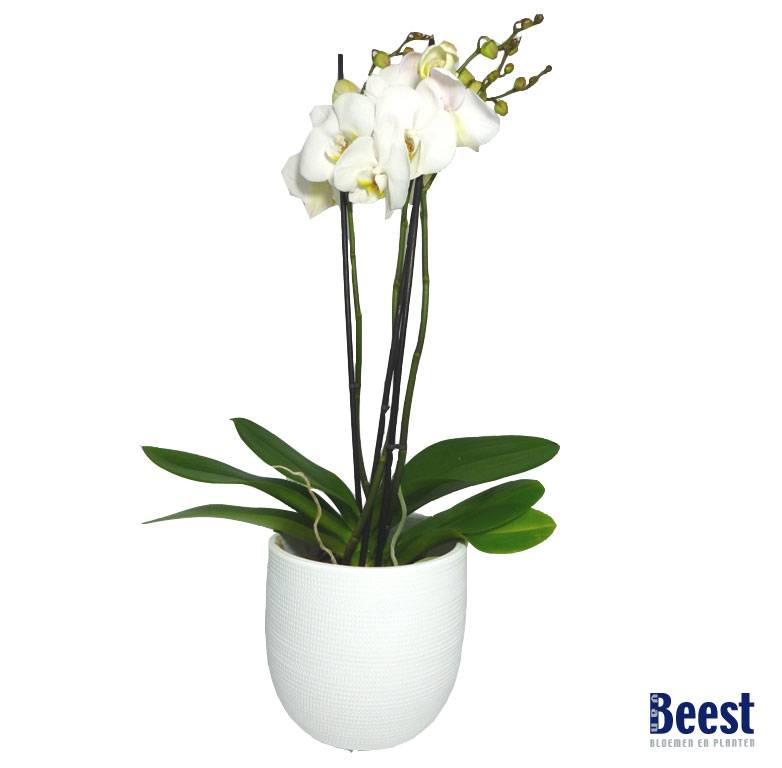 orchidee in pot van beest bloemen en planten. Black Bedroom Furniture Sets. Home Design Ideas