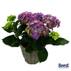 Hortensia blauw/paars in mand