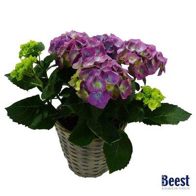Hortensia blauw/paars in mand