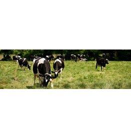 Cows Garden Canvas