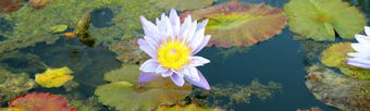 Water lily Garden Canvas