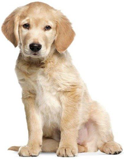Muursticker Xl Golden Retriever Puppy 91x117cm