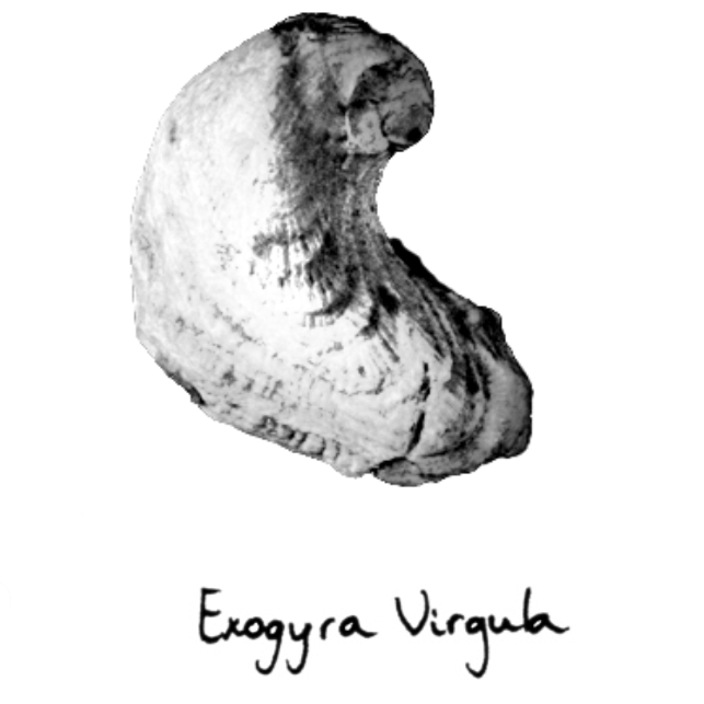 Exogyra Virgula