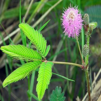 Kruidje-Roer-Mij-Niet / Gevoelige Mimosa Zaden