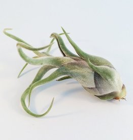 Draadzaken Luchtplant Medusae