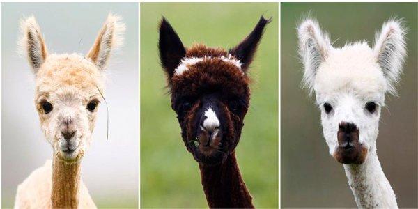 Een alpaca of een lama?