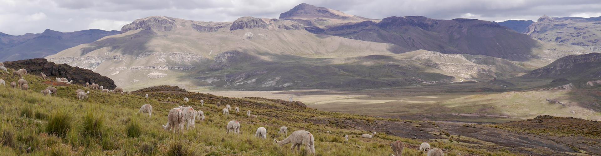 Alpaca's in de hooglanden van Peru - Alpaca d'Oro