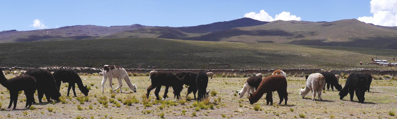 Sociaal Ondernemen in Peru - Alpacawol