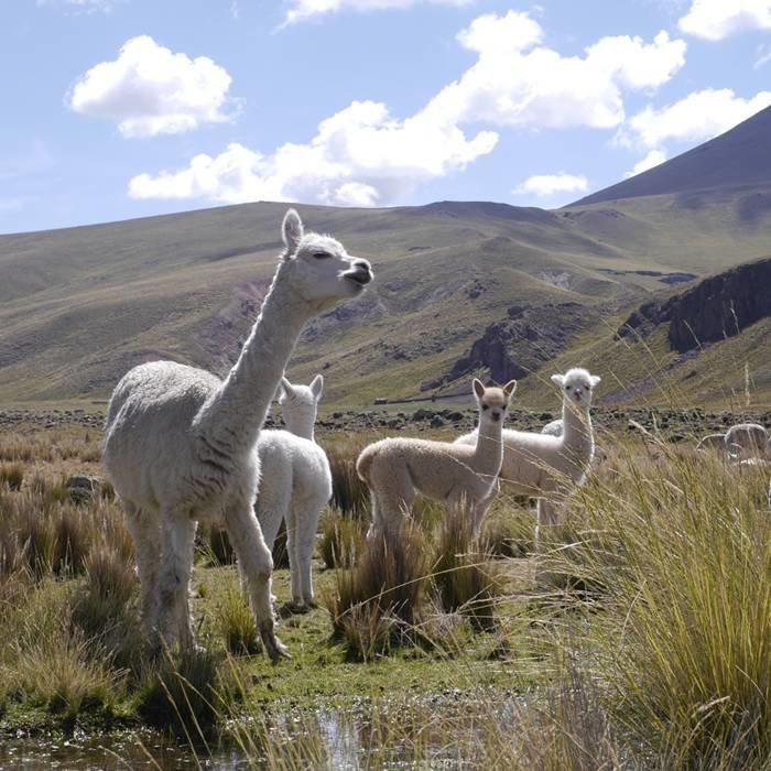 ALPACA WOOL FROM PERU