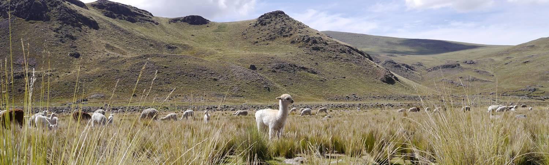 Alpacawol; de magische vezel uit Peru!