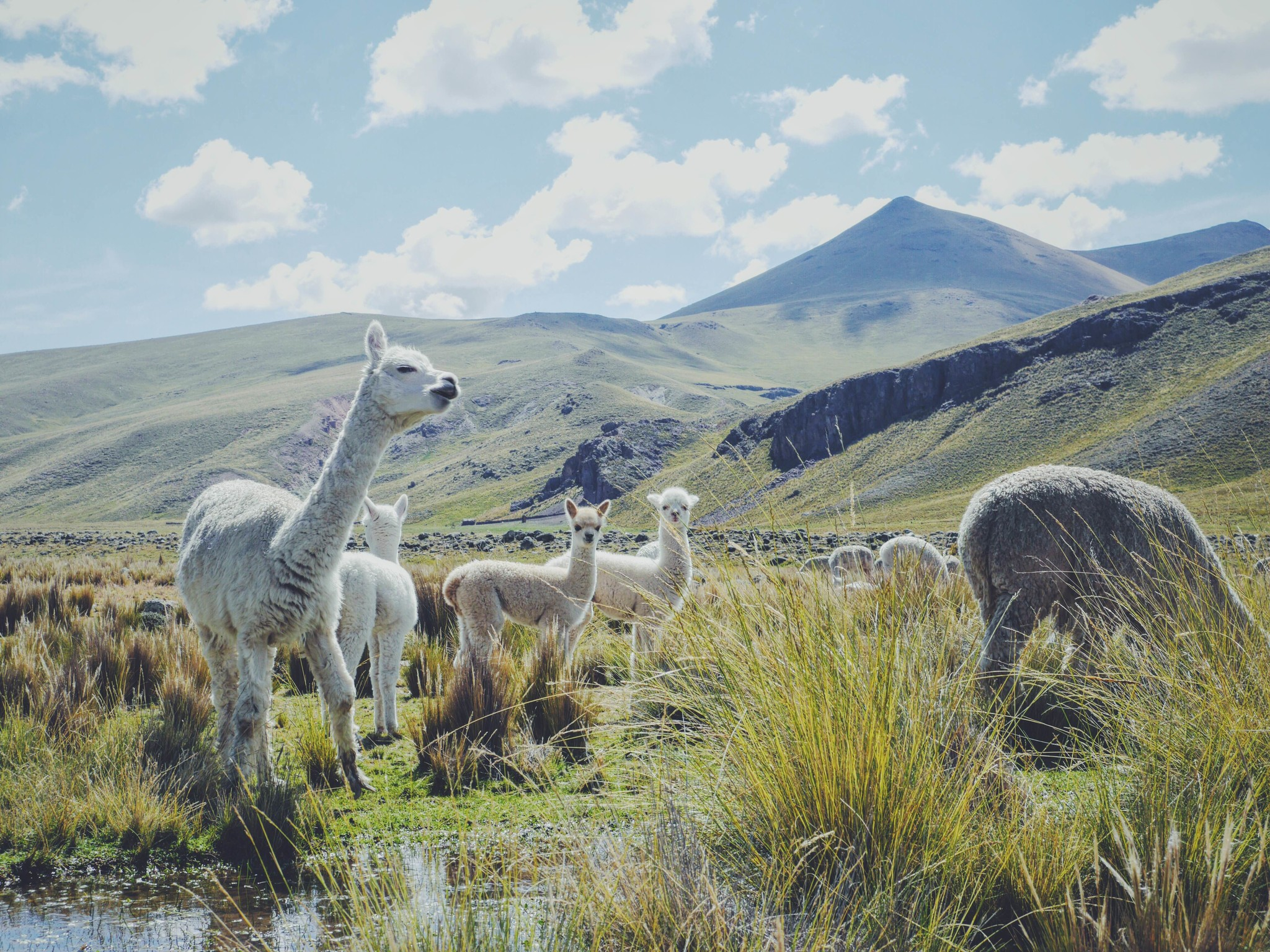 Baby alpacas living free in the andes of Peru alpaca wool picture by Inkari