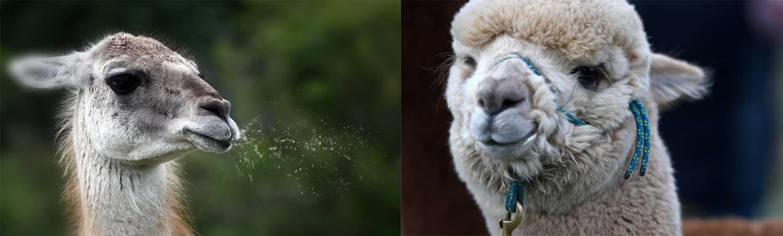 10 Differences Between Llamas And Alpacas - Llamas vs Alpacas