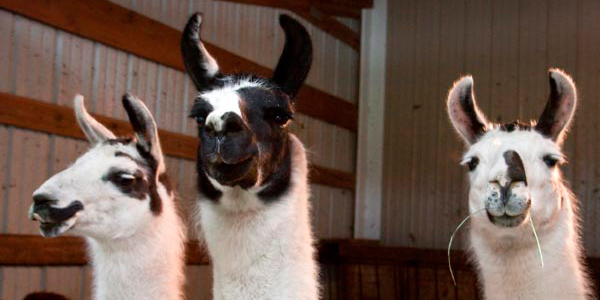 3 Funny Llamas