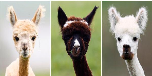 Funny alpacas picture - 3 alpacas