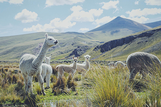 Alpacas in the Peruvian Andes - Alpaca d'Oro