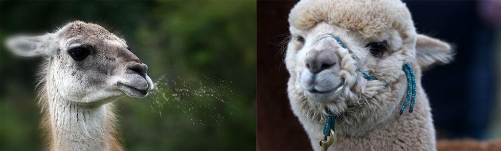 10 Verschillen Tussen Een Alpaca En Een Lama - Alpaca vs Lama