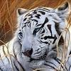 Artibalta White Tiger