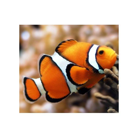Artibalta Clown Fish