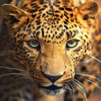 Artibalta Portrait of the Leopard