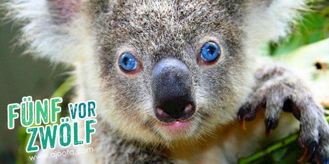 5 vor 12: Der Koala