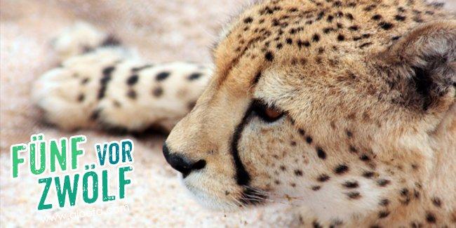 5 vor 12: Der Gepard