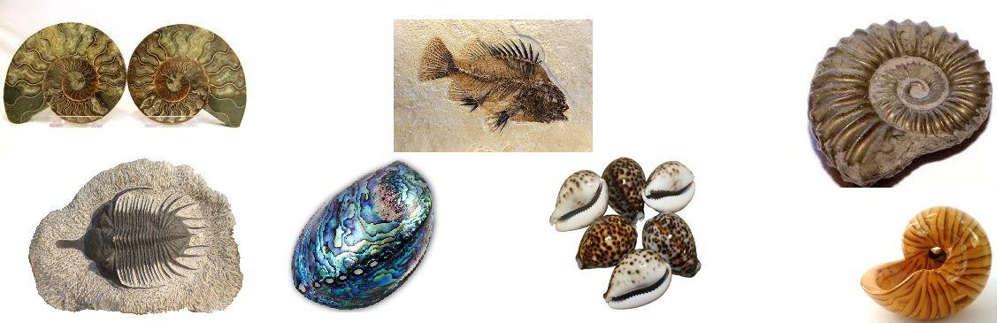 Fossielen en schelpen
