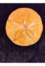 Zee egel fossiel