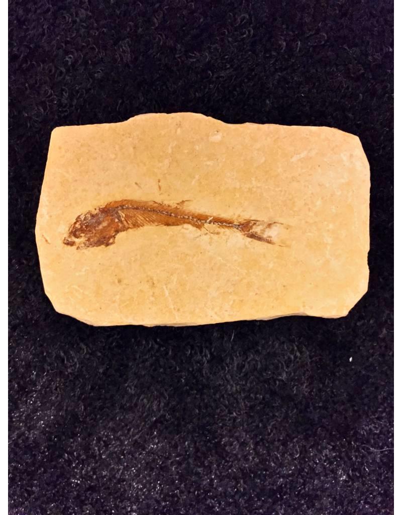 Dastilbe Elongatus fossiel vis