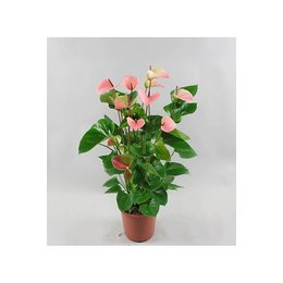MijnDuurzaamRendement Anthurium Summer Love
