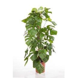 MijnDuurzaamRendement Philodendron Monstera (Gatenplant)