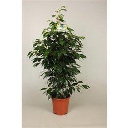 MijnDuurzaamRendement Ficus benjamina