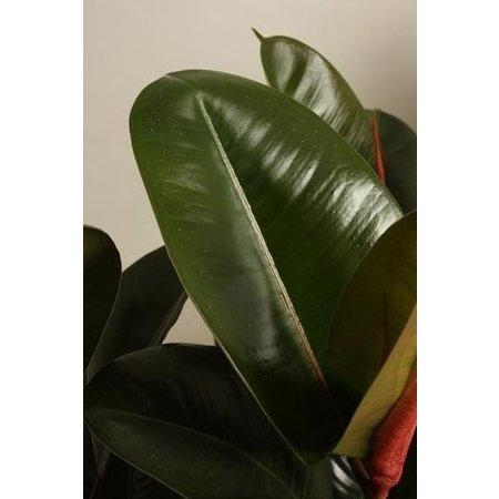 MijnDuurzaamRendement Ficus elastica