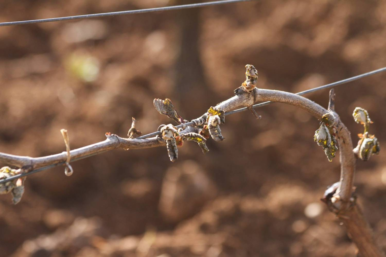 Vorst teistert diverse wijnstreken
