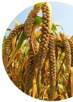 gierst k.b.A. rijp voor oogst, PuurSlapen