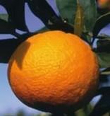 Farfalla Bloedsinaasappel BIO 10 ml. uit biologisch dynamische teelt.
