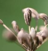 Farfalla Biologische gecertificeerde anijs etherische olie