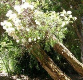 Farfalla Cajeput etherische olie BIO kBA, 10 ml.