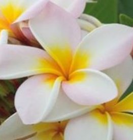Farfalla Frangipani 20%, BIO, Abs., 5ml