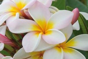Farfalla Frangipani (Plumeria) Absolue 20% biologisch 5 ml.