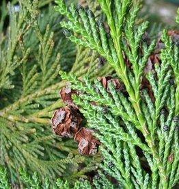 Farfalla Cypres (Zypresse)  BIO 5 ml.
