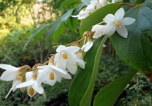 Farfalla Benzoe Abs. Resinoid 50% biologisch 5 ml.