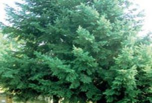 Farfalla Douglasie (Fichte) ofwel Douglasden biologische etherische olie.