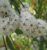 Farfalla Eucalyptus Radiata Biologisch 5 ml.